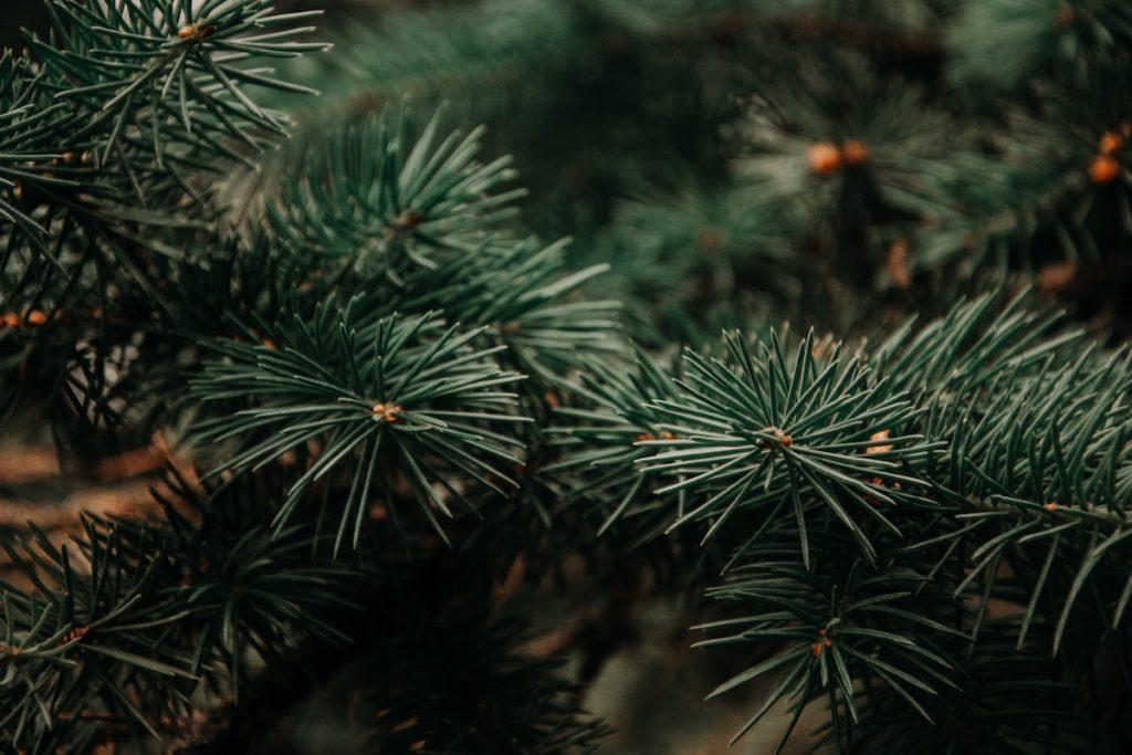 close up photo of a pine tree